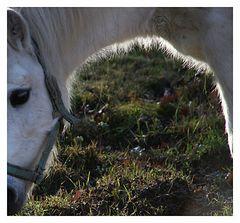Pferdebogen