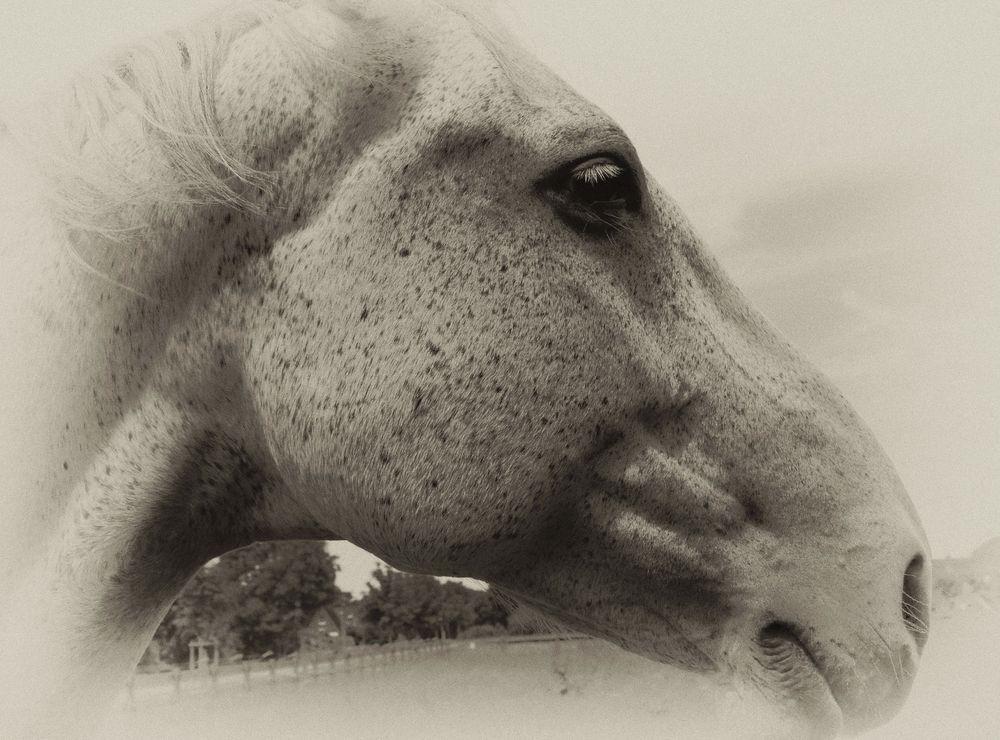 Pferdekopfportrait