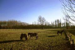 Pferdekoppel am Niederrhein