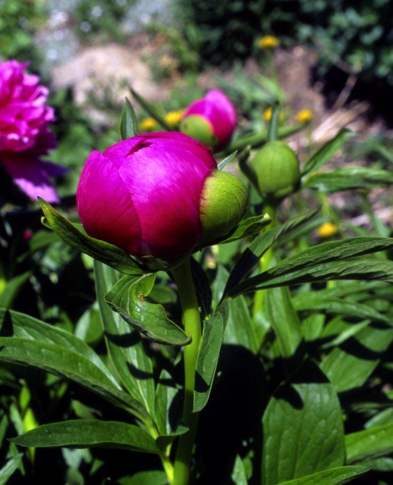 Pfingsrose kurz vor der Blüte