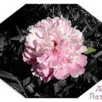 Pfingst-Rose, 1. CK