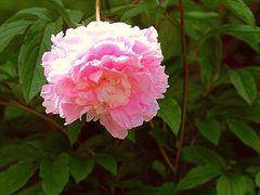 Pfingst-Rose - Lass den Kopf nicht hängen!