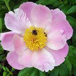 Pfingstrose - reichlich Nahrung für Hummeln, Bienen, Wespen