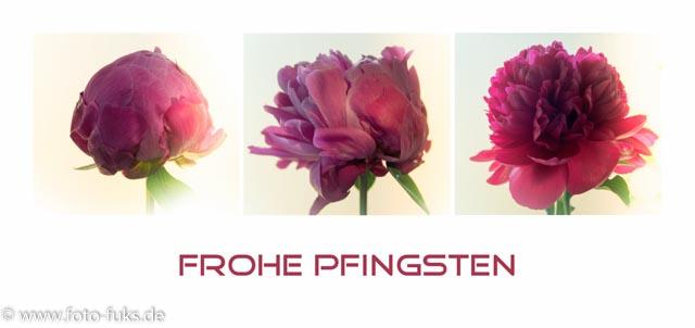 Pfingstrose - von der Knospe zur Blütenexplosion