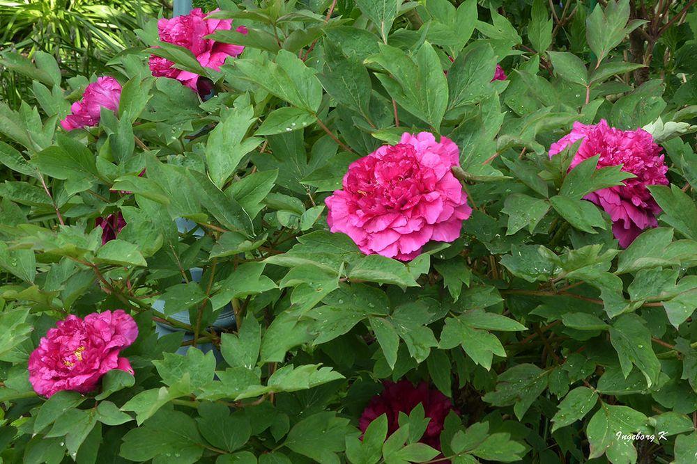 Pfingstrosen - früh blühend - eine Strauchrose