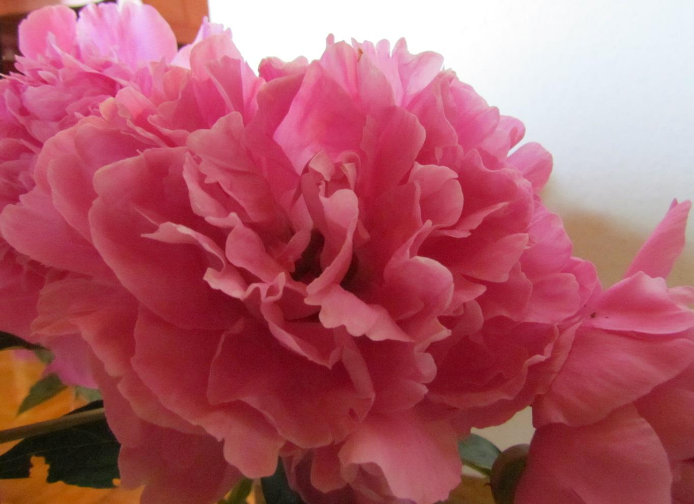 Pfingstrosen Rosa Foto Bild Pflanzen Pilze Flechten Bluten