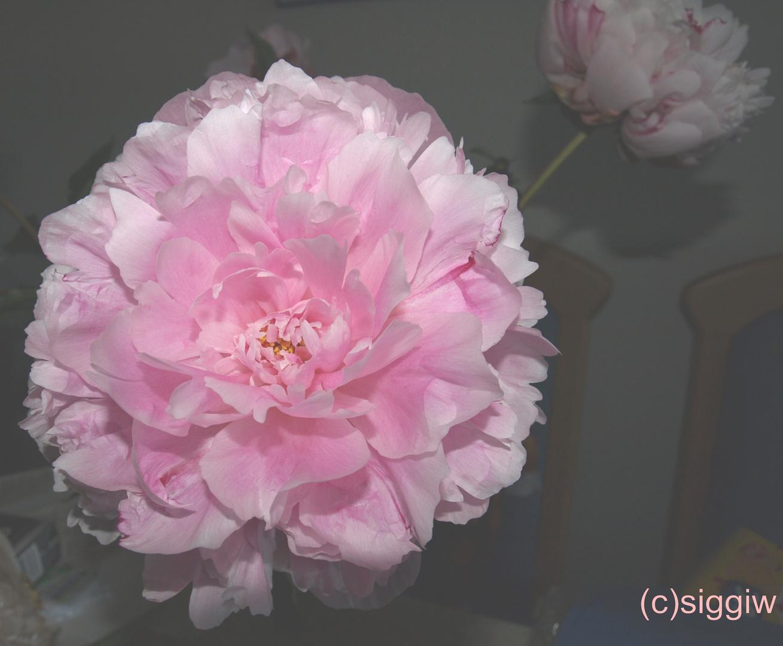Pfingstrosenblüte die duftet.....