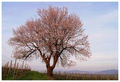 Pfirsichbaum mit Aussicht