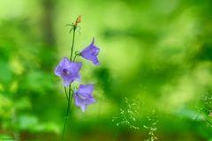 … pfirsichblättrige Glockenblume …