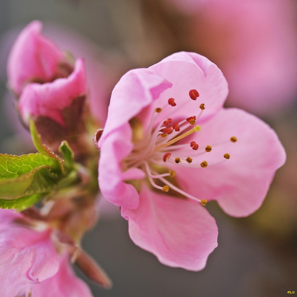 Pfirsichblüte...