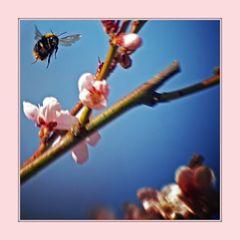pfirsichblüte an hummel mit tuntigem rahmen