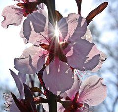 Pfirsichblüte im Gegenlicht