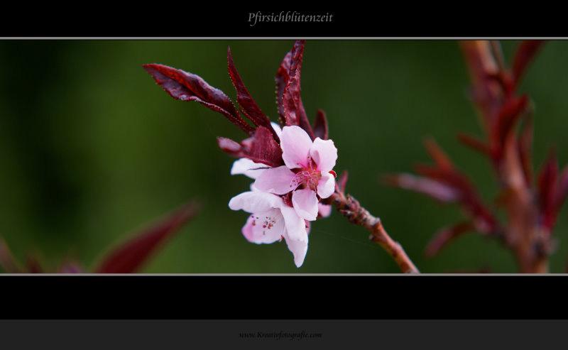 Pfirsichblütenzeit