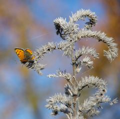 Pflanze scharf -Schmetterling unscharf