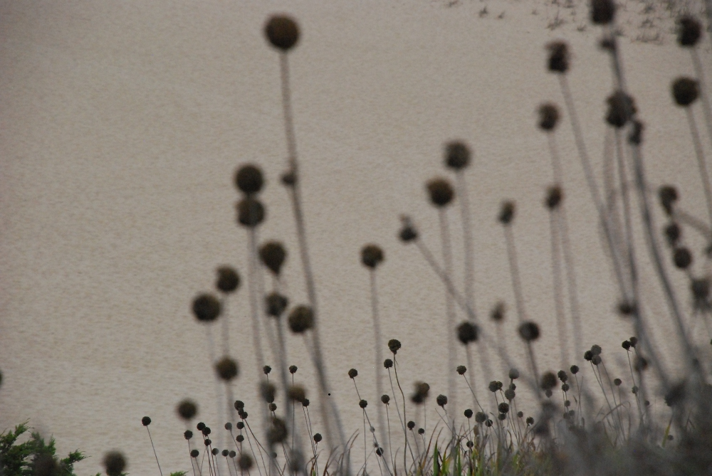 Pflanzen am Strand in Praia de Odeceixe