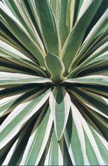 Pflanzen in der Dominik. Republik I