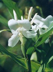 Pflanzen in der Dominik. Republik IV