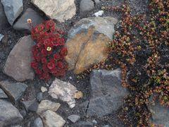 Pflanzen in Spitzbergen    P8150411