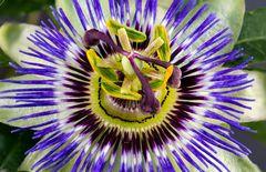 Pflanzen_Passionsblüte_P8A5845