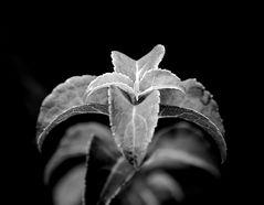 pflanzliche Symmetrie