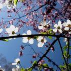 Pflaumenblüten