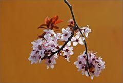 Pflaumenblüten.