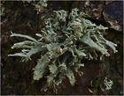 Pflaumenflechte (Evernia prunastri)