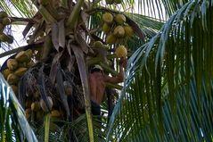 Pflücker der Kokosnuß