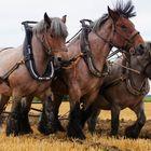 Pflügende Pferde