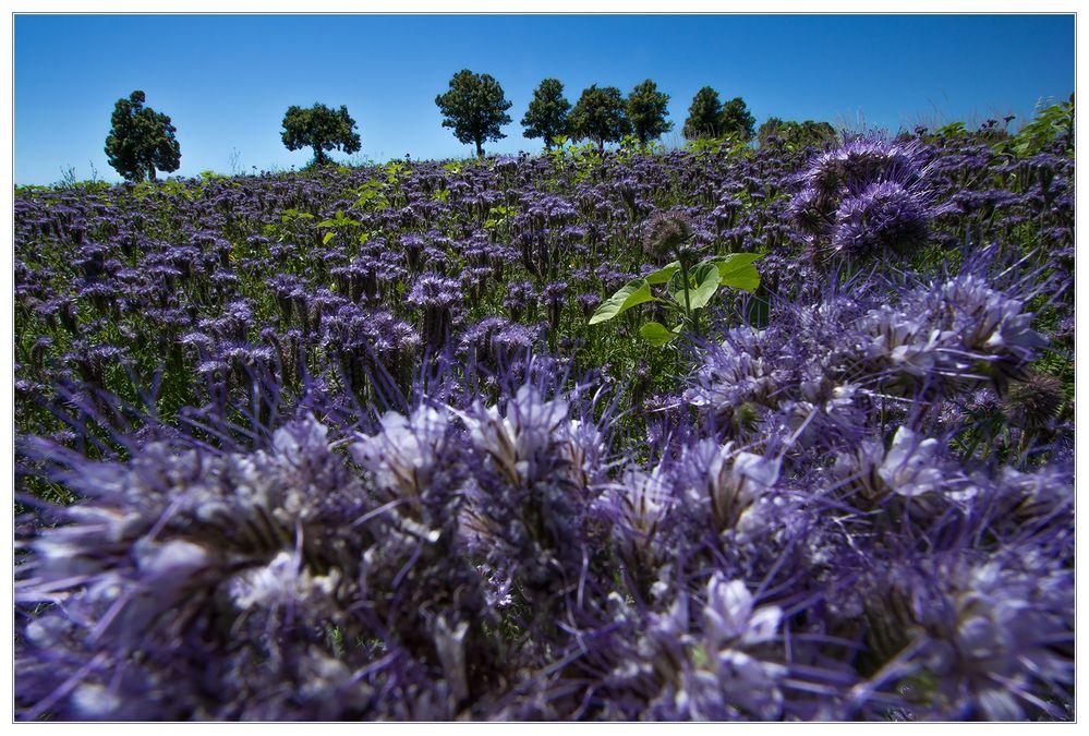 Phacelia-Blau (-violett) im mittagsblauen Licht...