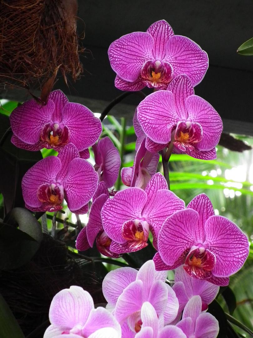 Phalaenopsis 3