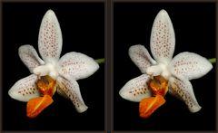 Phalaenopsis [3D]