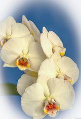 Phalaenopsis amabilis - Schmetterlingsorchidee