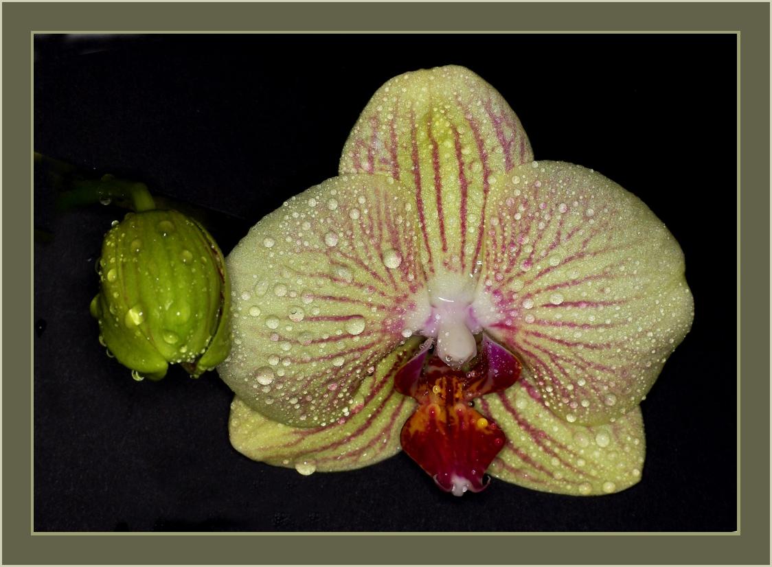 Phalaenopsis - Ambiance