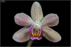 Blütenwunder - ORCHI