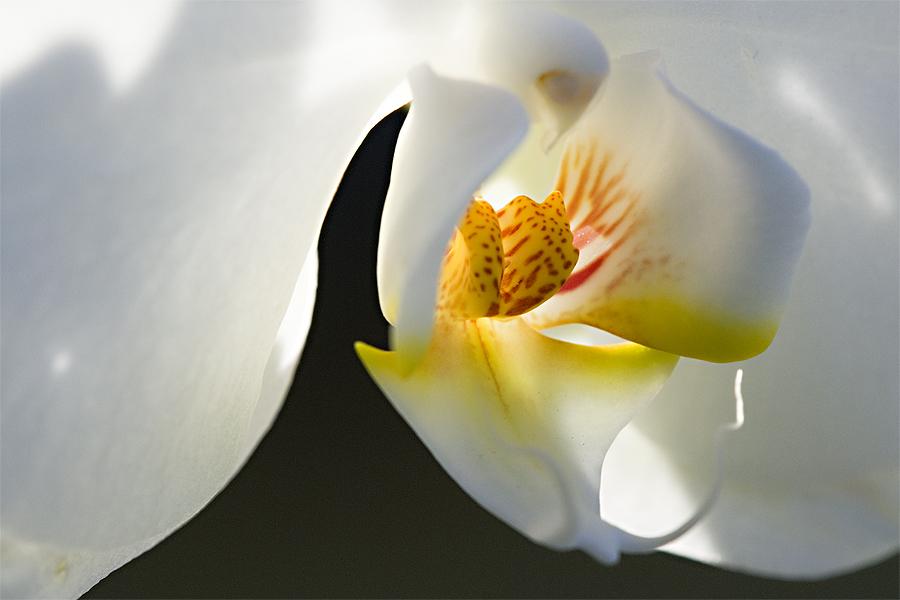 Phalaenopsis - Blütentraum - III