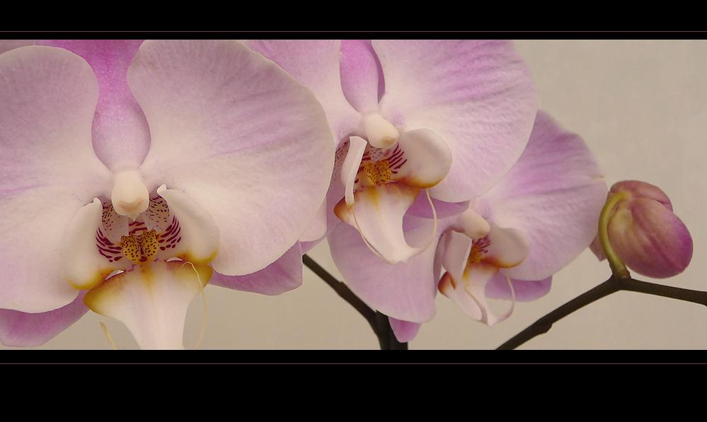 . phalaenopsis .