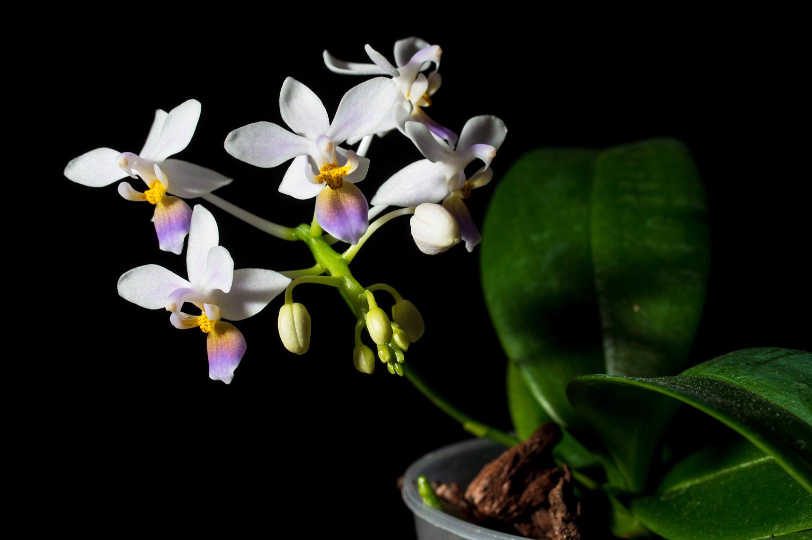 Phalaenopsis equestris var coerulea 1