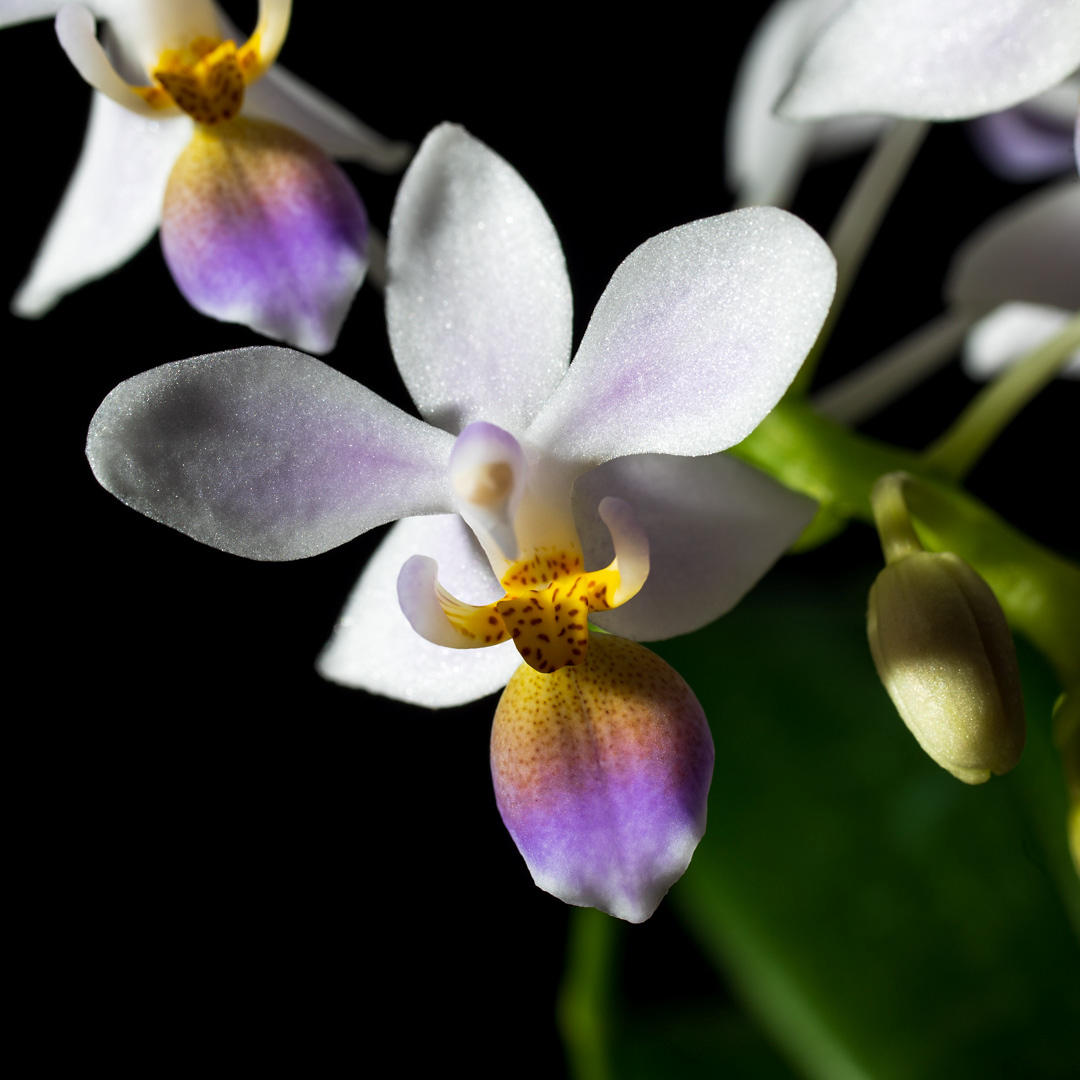 Phalaenopsis equestris var coerulea 2