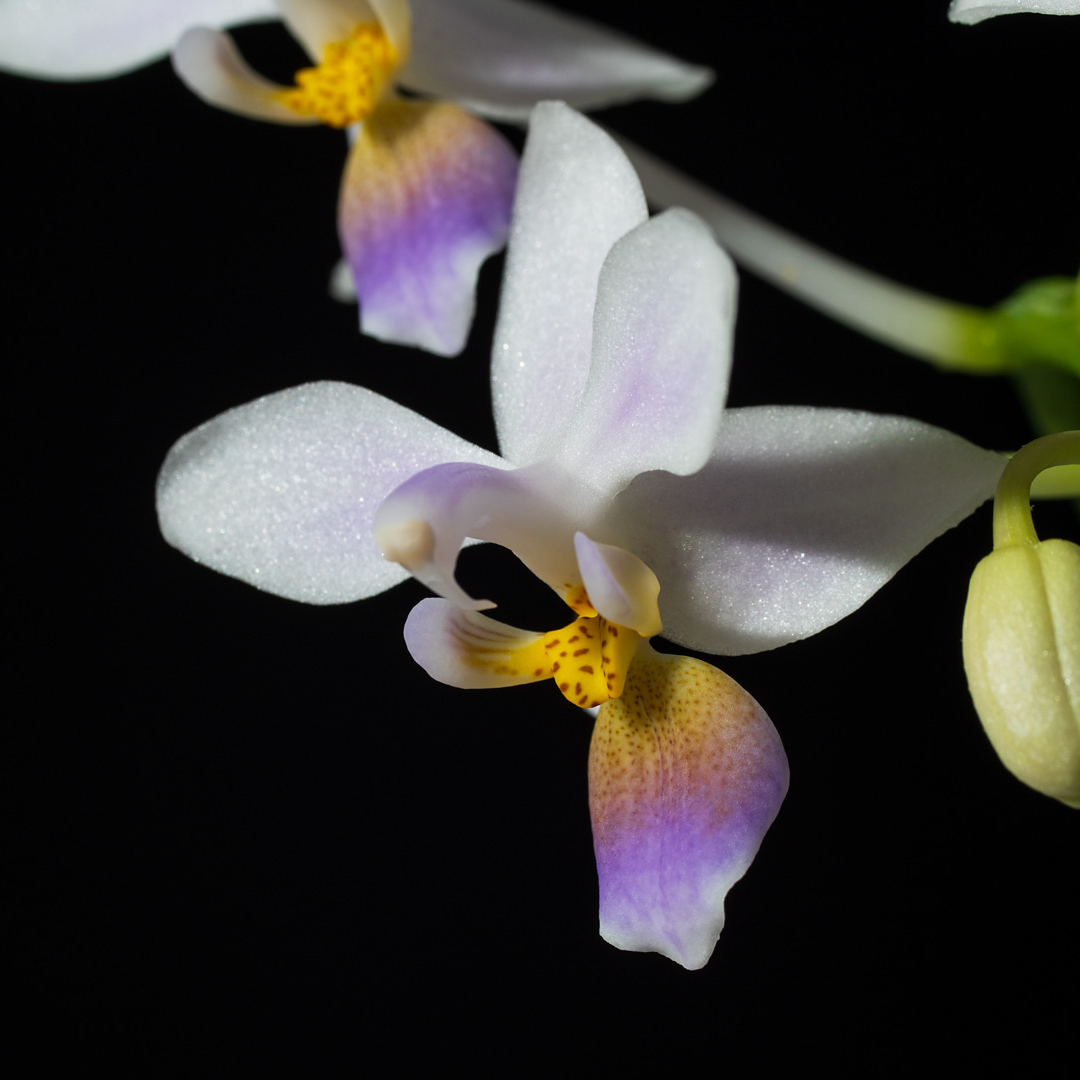 Phalaenopsis equestris var coerulea 3