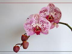 Phalaenopsis- Hybride