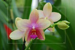 Phalaenopsis III