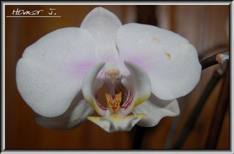 Phalaenopsis im Portrait