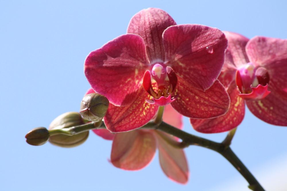 Phalaenopsis in der Sonne