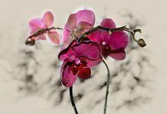Phalaenopsis - Lady in Red