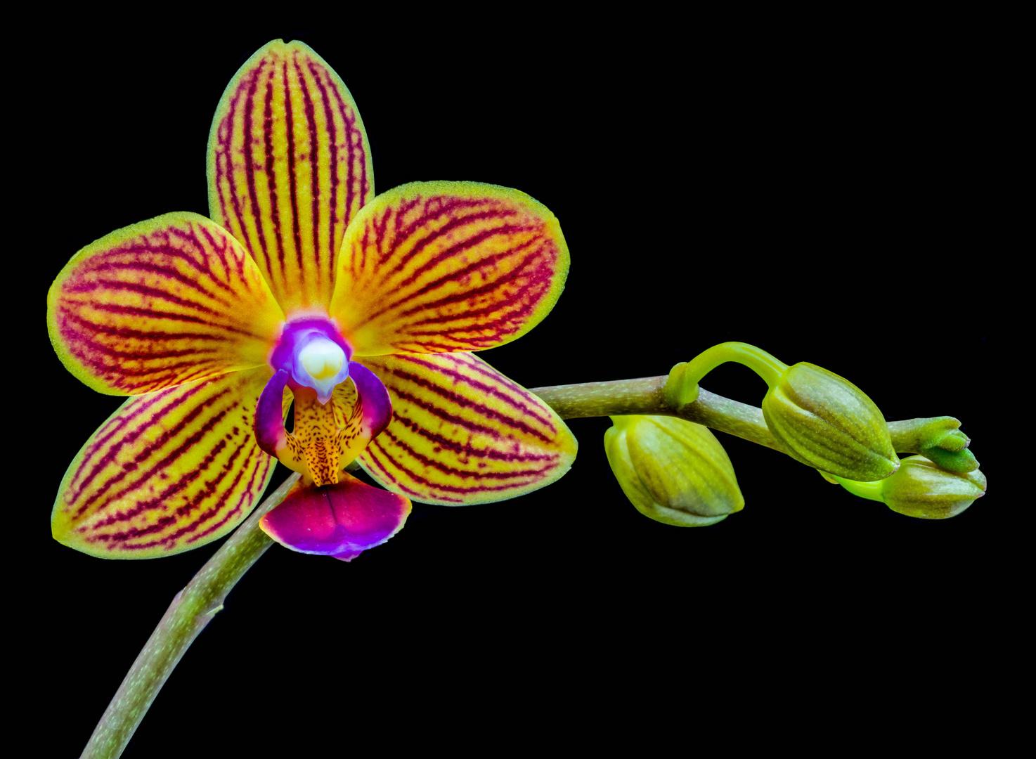 Phalaenopsis of de vlinderorchidee