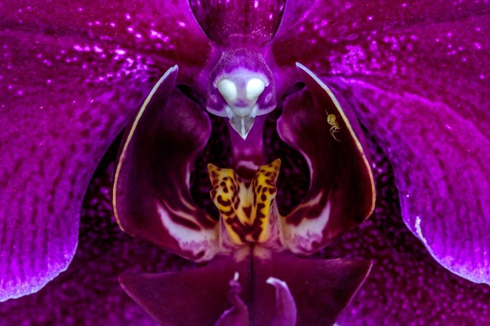 Phalaenopsis - Orchidaceae
