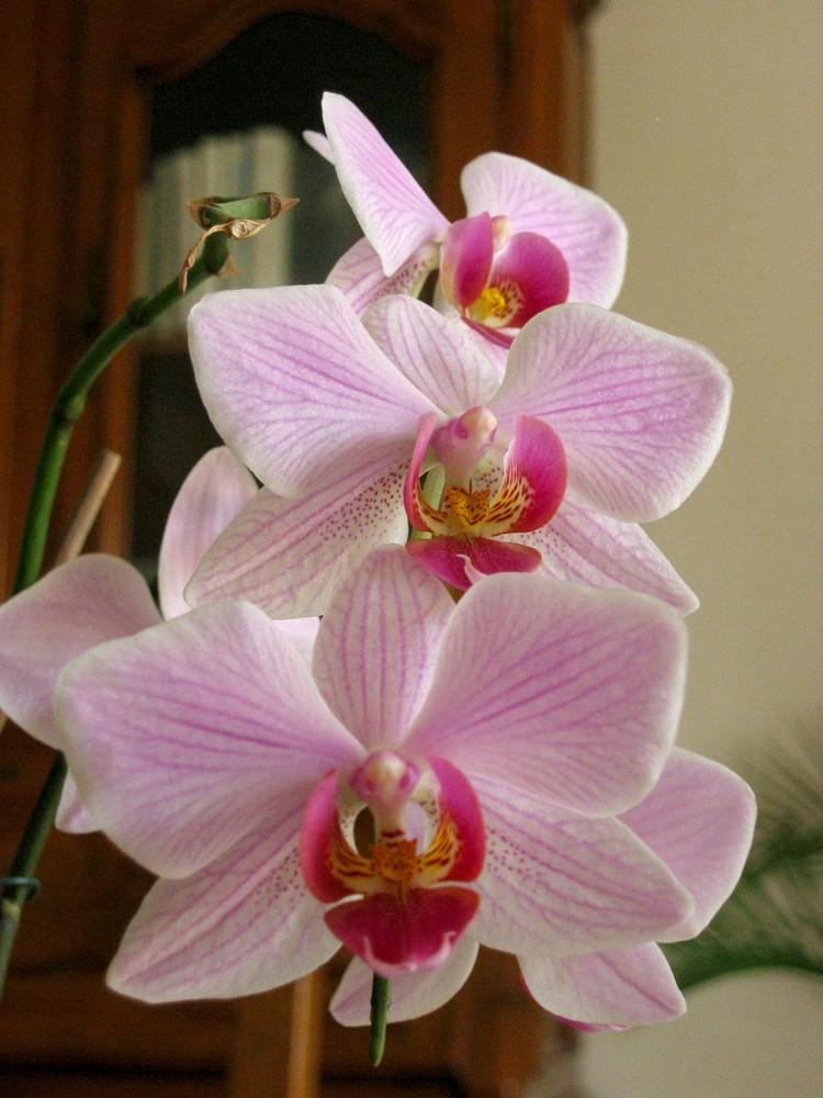 Phalaenopsis s'envole