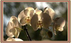 Phalaenopsis zum Muttertag 1
