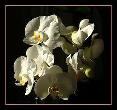 Phalaenopsis zum Muttertag 2